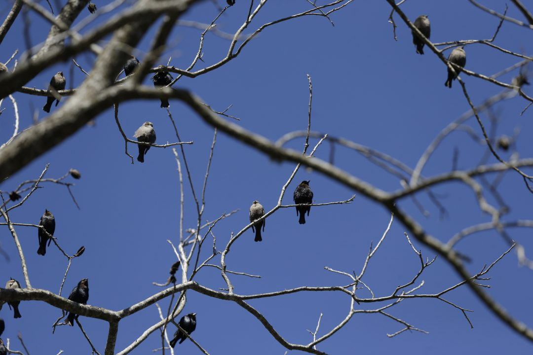 A group of birds migrate, March 2015, in Montgomery, Alabama.